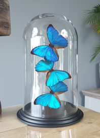 Butterfly Dome with 3 Morpho Menelaus Butterflies 32cm RMV02