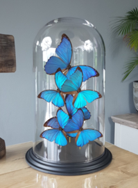 Butterfly Dome mixed with Morpho Menelaus & Didius 6 Butterflies 42cm RMV01