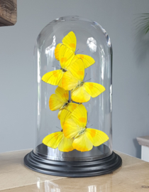 Butterfly Dome with Phoebis Philea butterflies 27cm RMV07