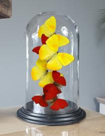 Butterfly Dome with Phoebis Philea & Cymothoe Sangaris butterflies 27cm RMV04