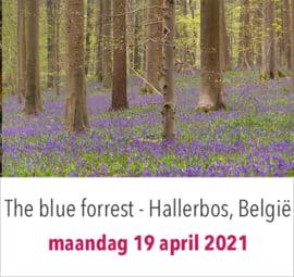 Hallerbos - the blue forrest - in België