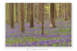Hallerbos -the blue forrest- in België
