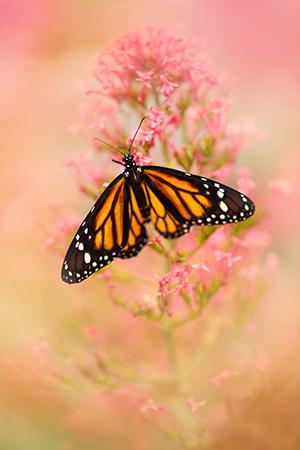 Werk aan de muur - categorie close ups - roze oranje vlinder in2pictures.nl fotoschool