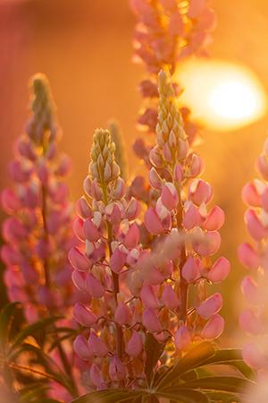 Werk aan de muur - categorie close ups - roze lupines in2pictures.nl fotoschool