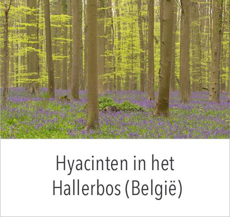 Excursie Hyacinten in het Hallerbos met in2pictures.nl fotografie