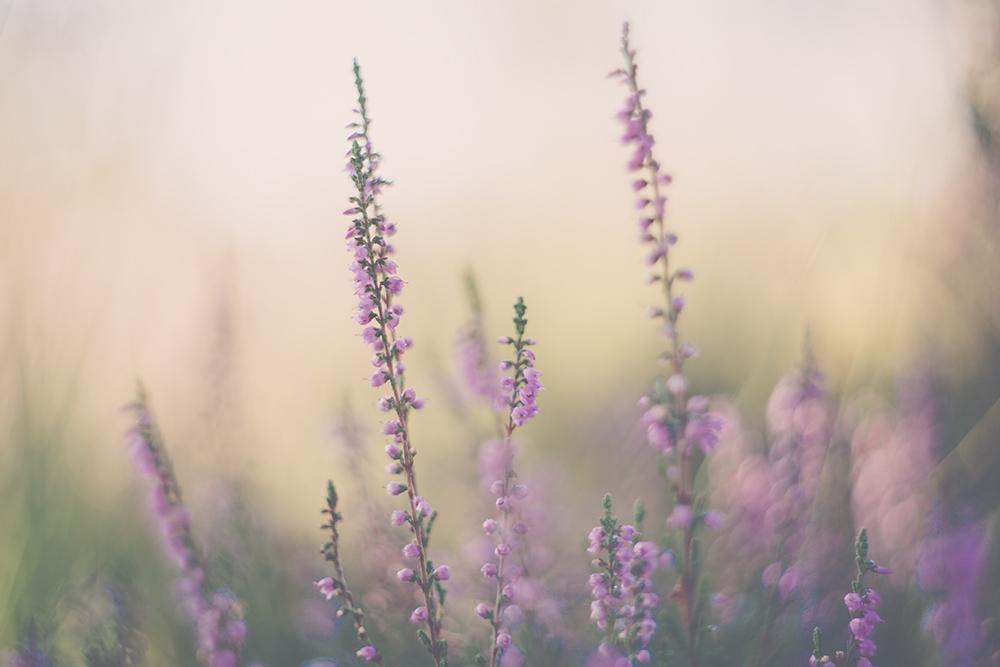 Paarse Heide