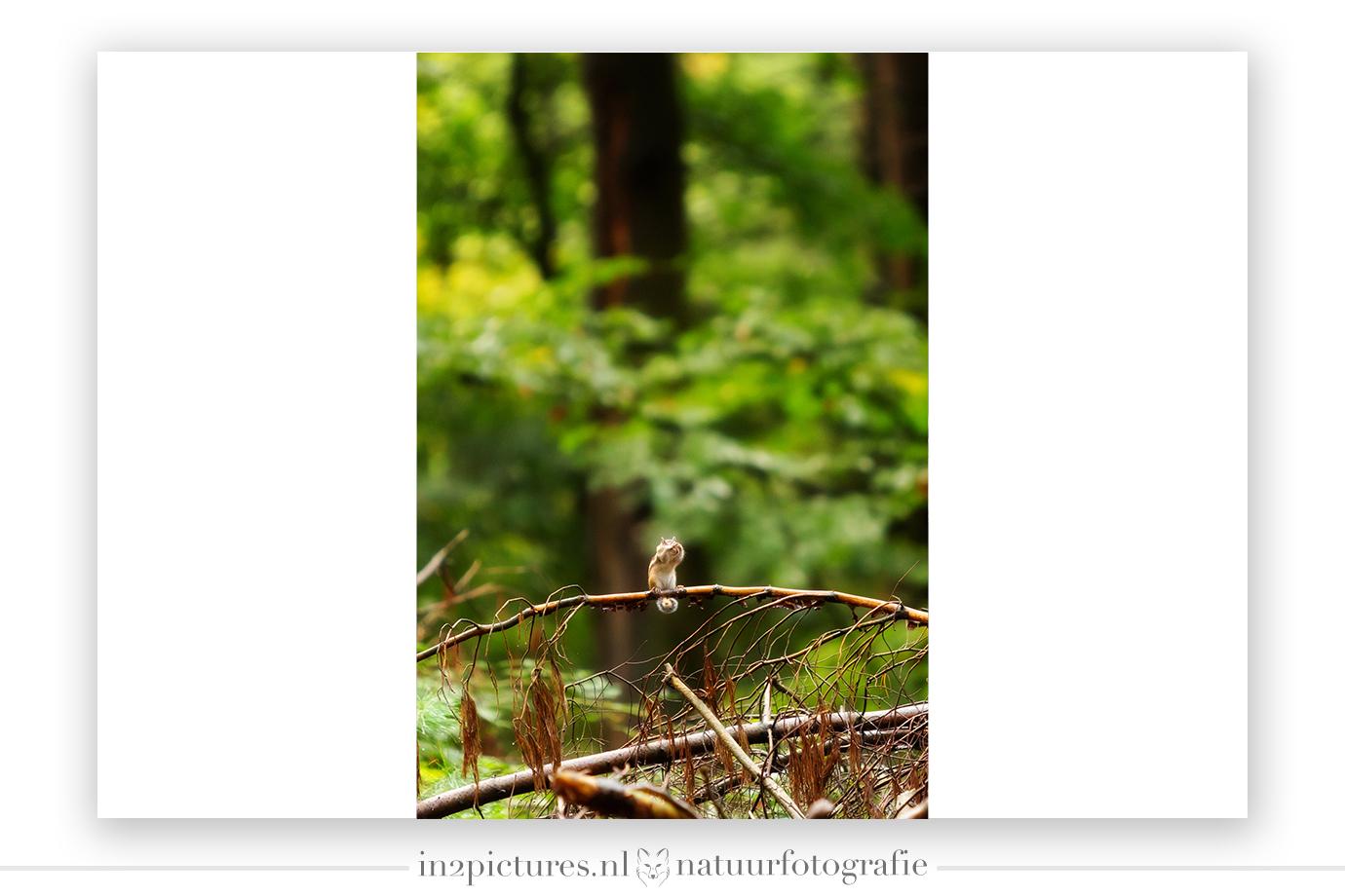 Grondeekhoorntjes