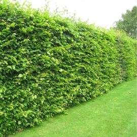 Haagbeukjes groen
