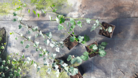 Ongestokte Hedera Hibernica 60-80 cm