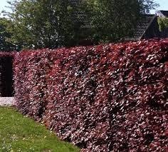 Haagbeukjes rood
