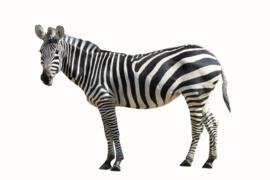 Muursticker zebra - Muurstickers dieren