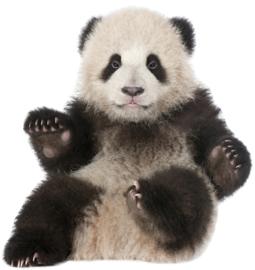 Muursticker panda - Muurstickers dieren