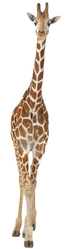 Muursticker giraf - Muurstickers dieren