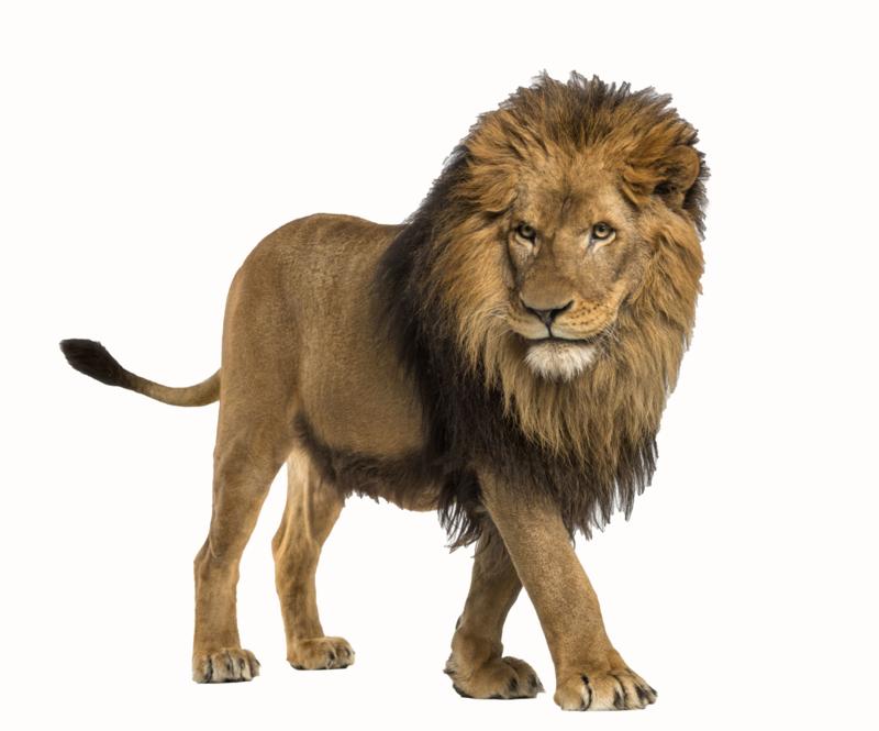 Muursticker met leeuw - Muurstickers dieren
