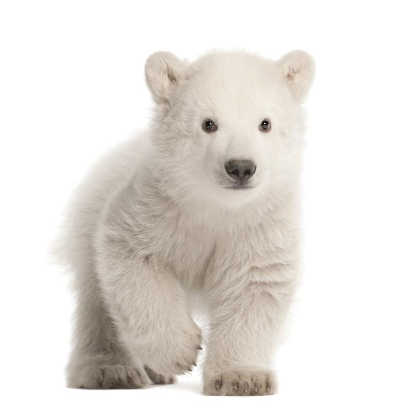 Muursticker polar beer - Muurstickers dieren