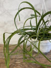 Lepismium Bolivianum (Hangplant)