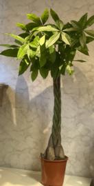 Pachira aquatica 160cm