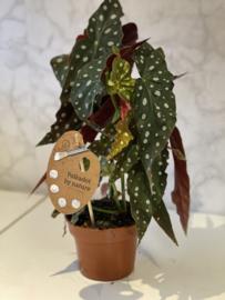 Begonia Maculata Wightii - Stippenbegonia