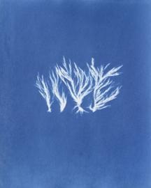 Cladophora rupestris (Takwier)