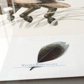 Nictea Unguillata