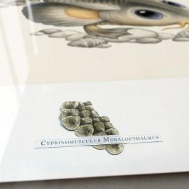 Cyprinomusculus Macrommatus (framed)