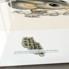 Cyprinomusculus Macrommatus