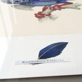 Rhipidurana Caerulea (framed)