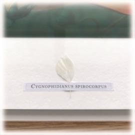 Cygnophidianus spirocorpus (framed)
