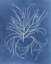 Agardhiella subulata (Stijf Priemwier)