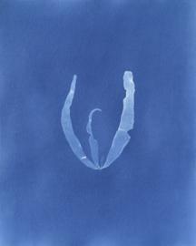 Petalonia fascia (Dunsteeltje)