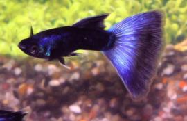 Guppy Man Pauw Blauw €3,50
