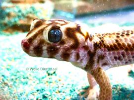 Wondergekko (Teratoscincus scincus) v.a. €50,-