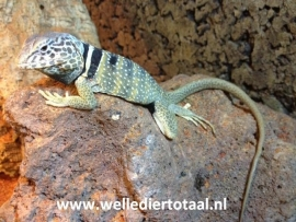 Halsbandleguaan (Crotaphytus collaris) v.a. €65,-