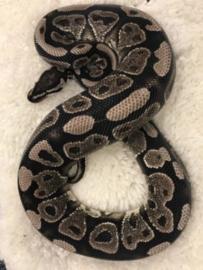 Koningspython, Python Regius, YellowBelly VPI Axanthic