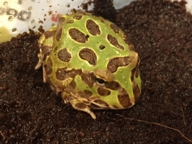 Pacman Groen (Ceratophrys Cranwelli) v.a. €35,-