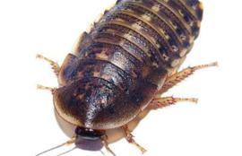 Doosje Kakkerlakken - Blaptica Dubia