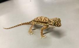 Stenodactylus Sthenodactylus v.a. €15,-