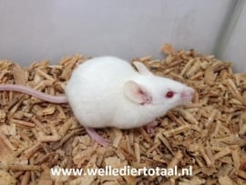Muis Wit €1,50