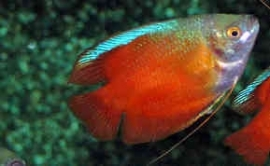 Dwerggourami rood