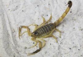 Vijfstreepschorpioen (Leiurus quinquestriatus) €35,-