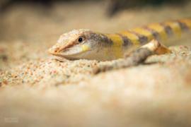 Apothekersskink (Scincus Scincus)(Sandfish) v.a. €25,-