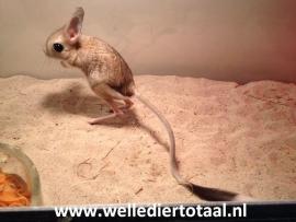 Grote Woestijnspringmuis (Jaculus Orientalis) v.a. €100,-