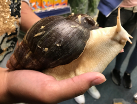 Agaatslak Whitebody (Achatina whitebody) XXL v.a. €35,-