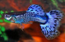 Guppy Man Snakeskin Blauw €3,50