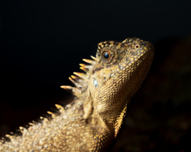 Stekelnekagaam (Acanthosaura capra) v.a. €30,-