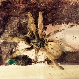 Pterinochilus vorax €35,-