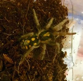 Hapalopus columbien spec. small €45,-