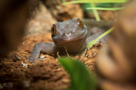 Gouden gekko (Gecko Auratus) v.a. €20,-