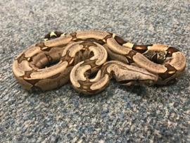 Afgodsslang (Boa Constrictor) v.a. €35,-