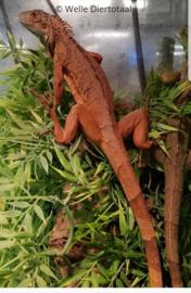 Rode leguaan (Iguana Iguana) v.a. €75,-